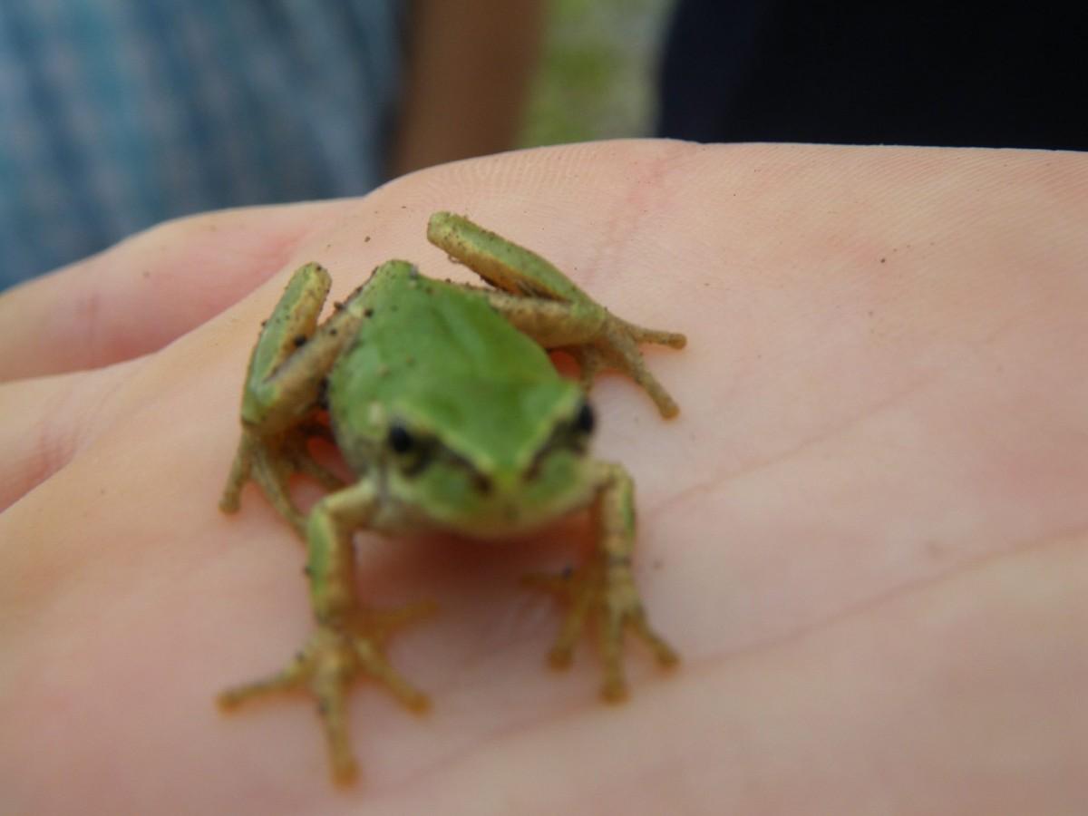 田んぼで見つけたカエル